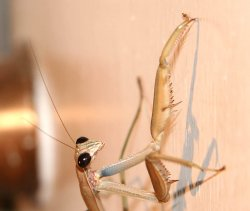 Praying Mantids on Our Front Door