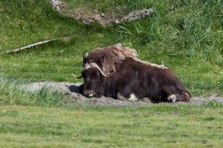 Muskox at the Alaska Wildlife Conservation Center