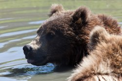 Swimming bears at the Alaska Wildlife Conservation Center