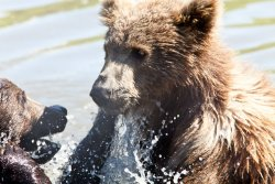 Water fight at the Alaska Wildlife Conservation Center