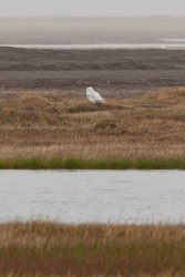 Snowy Owl (AKA Arctic Owl) on the tundra