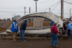 Bowhead whale skull and informational sign
