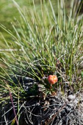 Cloudberry on the arctic tundra