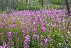 Fireweed patch
