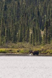 Moose grazing in a lake